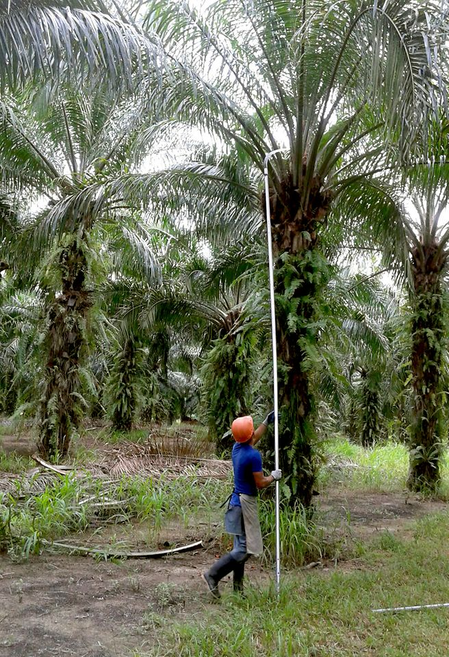 Farmer in Honduras harvesting palm fruit